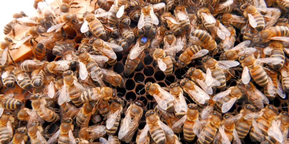 buzzer-time- the Queen bee