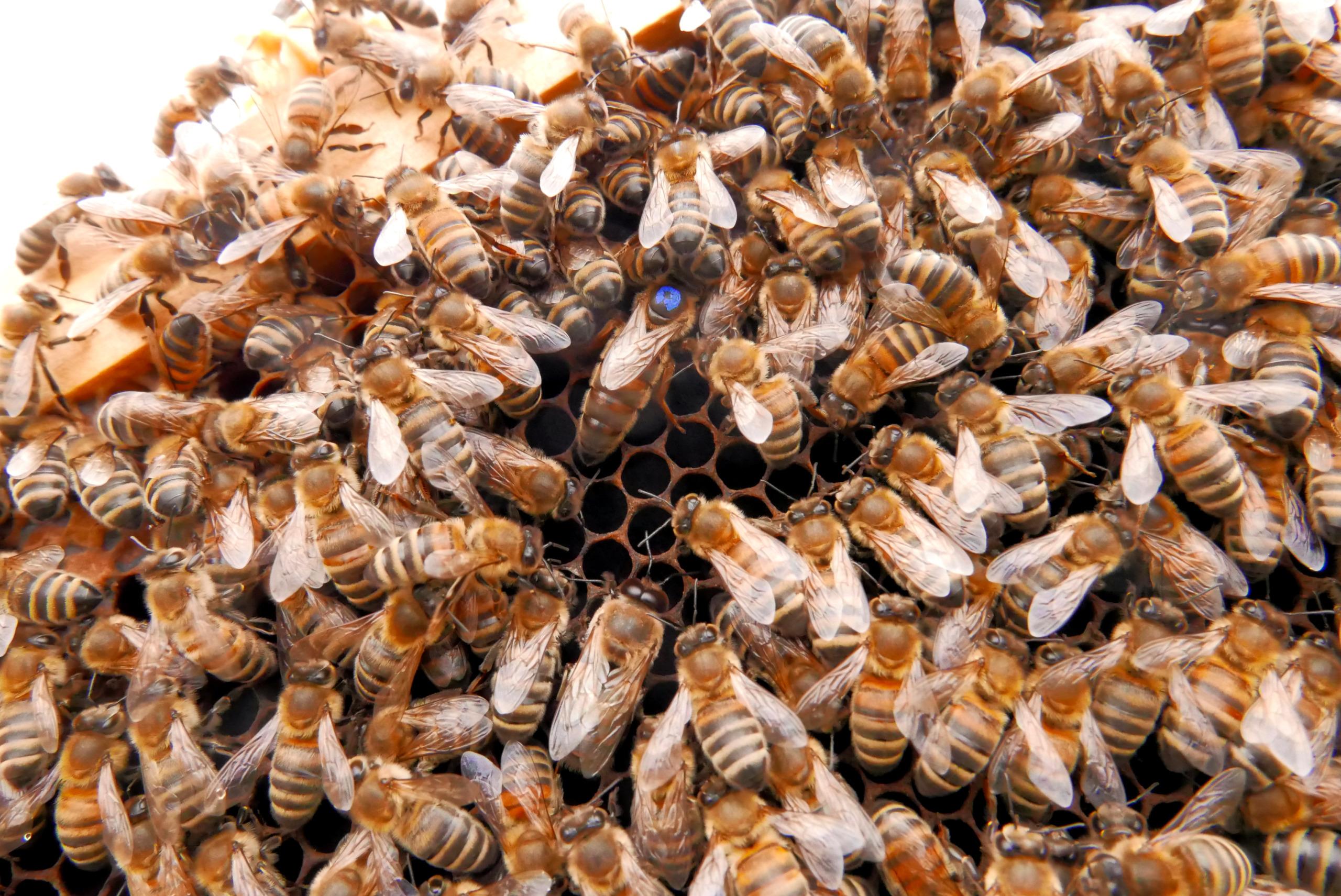 Summer-time! Die Bienenkönigin in der Mitte mit dem blauen Punkt