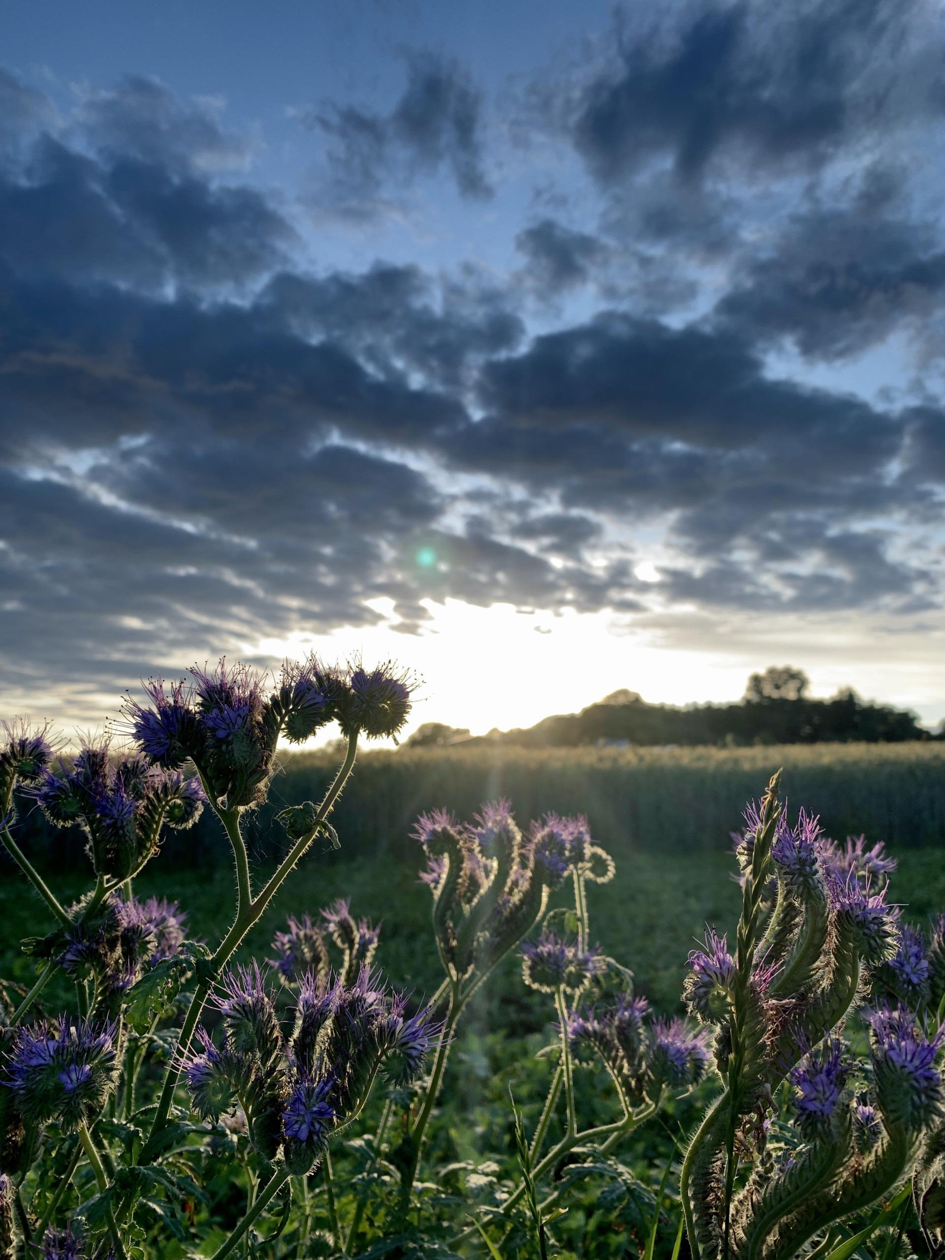 Bienchen - Die Phazelie, der Bienenfreund im Abendlicht