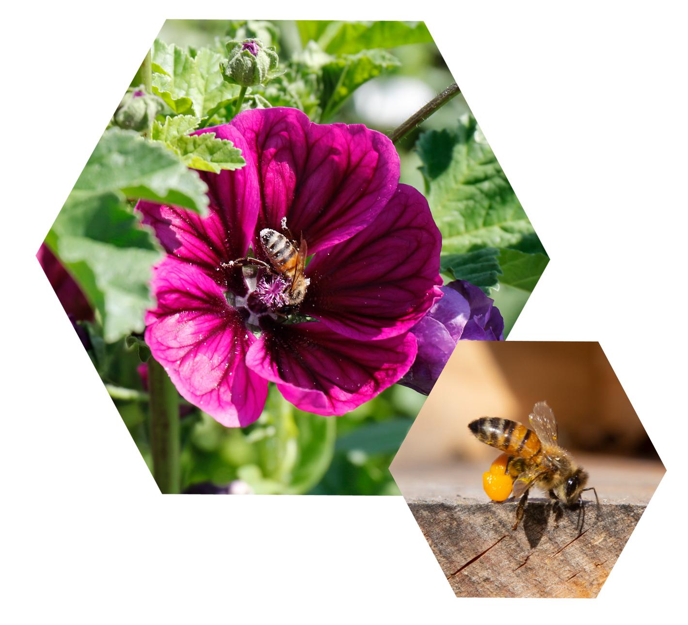 Bienchen - Fette Beute! Wilde Malve und eine Biene mit Pollen